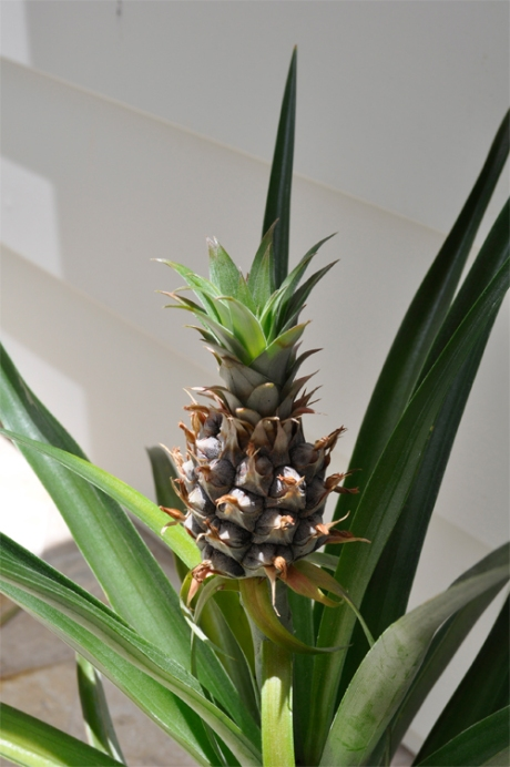 pineapple_plant